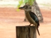 p1090789blue-winged-kookaburra-seicia