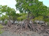 Mangrove Trees, Cape Tribulation
