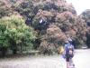 Huge Mango trees flowering profusely. Breeza Plains. Lakefield NP