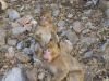 Barbary Apes at Lake Azegzal, Middle Atlas