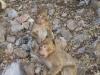 Barbary Apes at Lake Azegzal, Middle Atlas