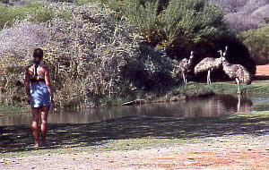 Gaye sharing a waterhole. François Peron NP