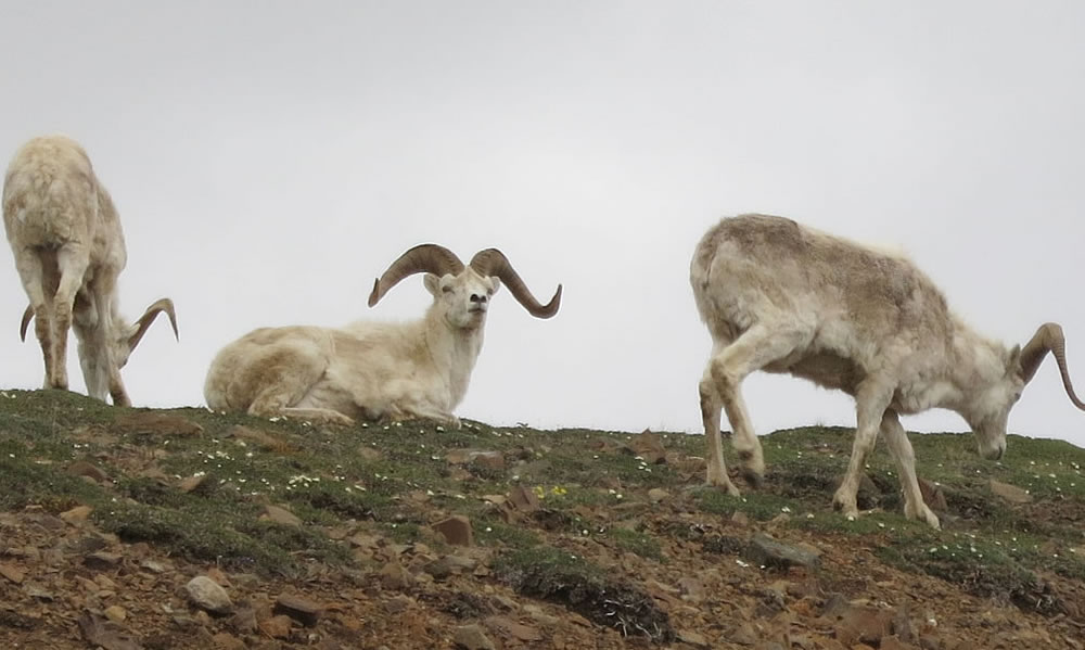 Dall sheep grazing nonchalantly on a rocky outcrop