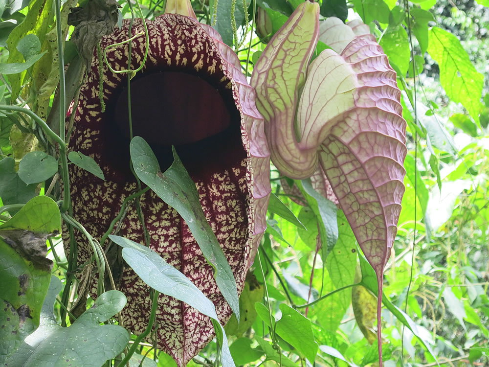 Roadside 'pelican' flowers - one of the largest flowers in the world with a smell like rotting meat which attracts pollinating flies