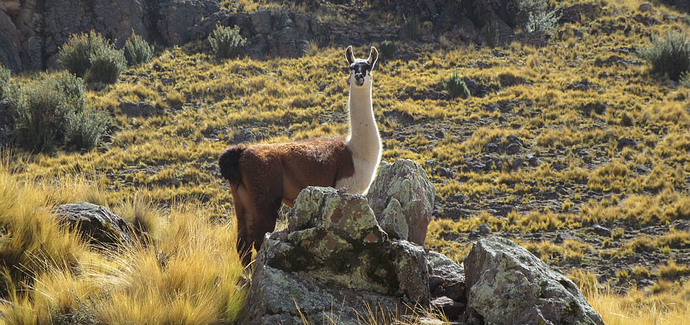 Peru:  the hills are alive with the sound of GRRIINGO!